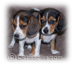 beagle, puppy, puppies, for sale, pocket, mini, miniature